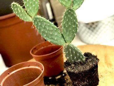 Rempotage cactus